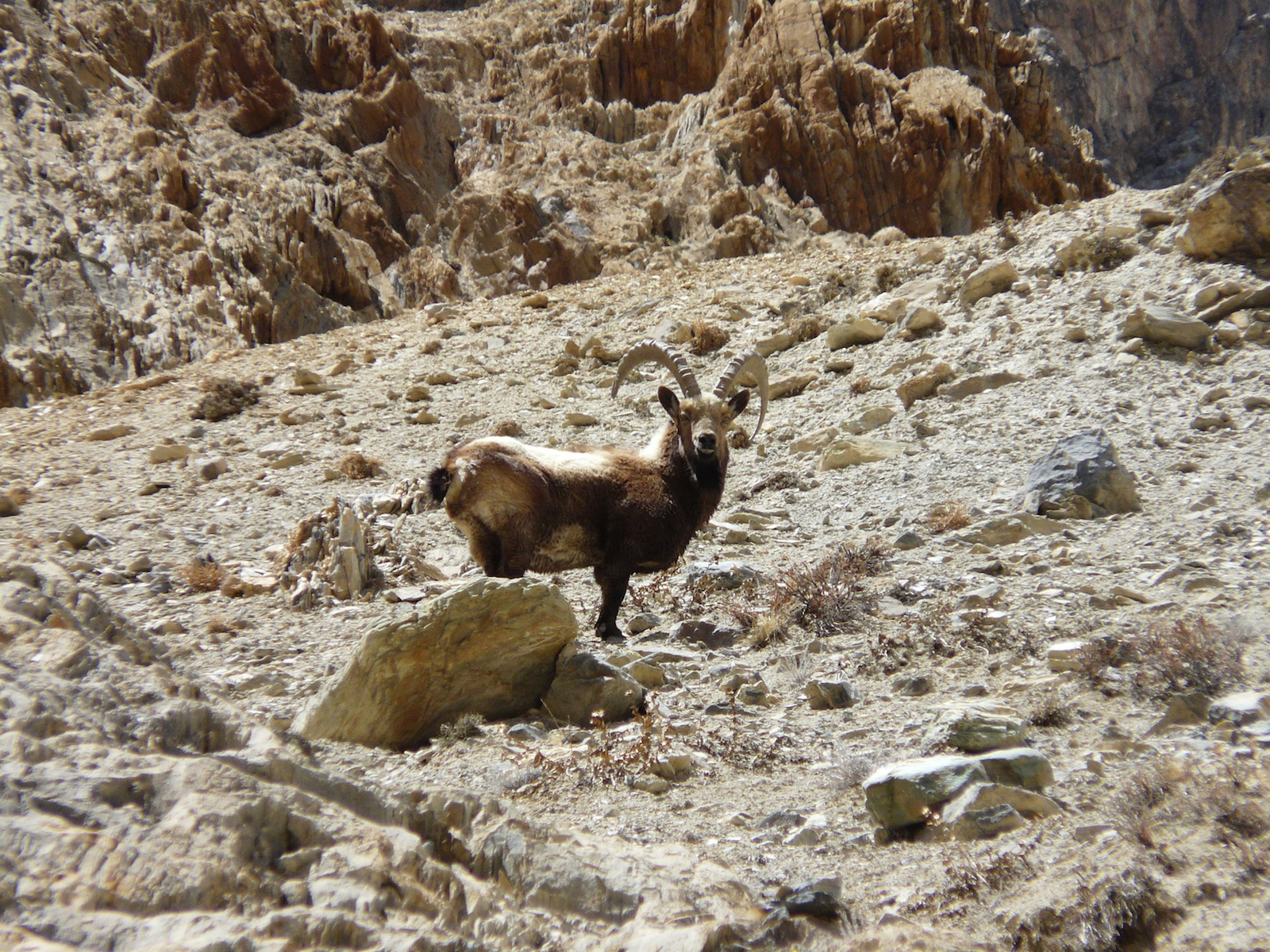 Asiatic-ibex